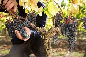 Harvest Domaine de Baronarques wine Limoux Languedoc